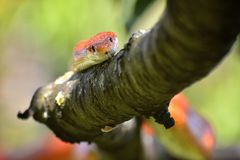 Corn snake on a tree branch Royalty Free Stock Photo