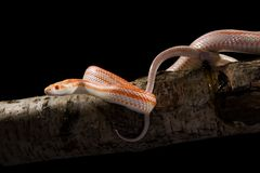 Corn Snake. On the tree stock images