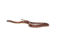 Corn snake Stock Photography