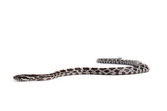 Corn snake. On a white background Stock Photo