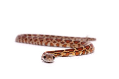 Corn snake. On a white background Royalty Free Stock Photography