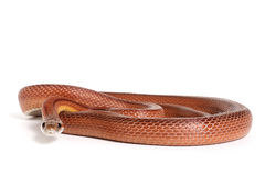 Corn snake. On a white background Royalty Free Stock Image