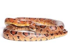 Corn snake Royalty Free Stock Photography