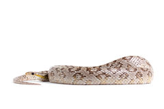 Corn snake Stock Images