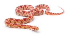 Corn snake on white background Stock Images