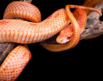 Corn snake wrapped around an old branch Stock Photos