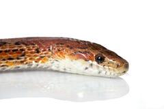 Corn snakes. Isolated on white Royalty Free Stock Photos
