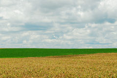 Corn and soy bean. A plantation of soy bean and corn Royalty Free Stock Photography