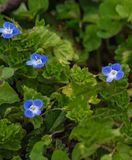 Corn Speedwell – Veronica arvensis. Corn Speedwell is a low, hairy, branched plant with 1 minute, nearly stalkless, deep blue flower in each upper leaf royalty free stock photos