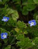 Corn Speedwell – Veronica arvensis - 2. Corn Speedwell wildflower is a low, hairy, branched plant with 1 minute, nearly stalkless, deep blue flower in royalty free stock images