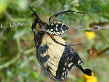 Corn Spider Argiope with its prey. Argiope aurantia with catched Yellow Swallowtail butterfly Stock Image