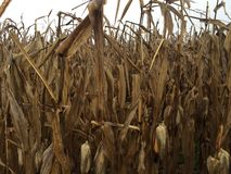 Corn. Spooky and creepy corn field in Pennsylvania with dead and unwanted corn ears Stock Photo