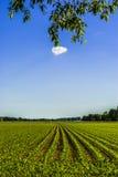 Corn in Spring. Corn field in spring - horizon - bright sky Stock Photo