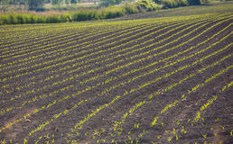 Corn sprouting at a farm Stock Photo
