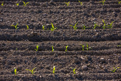 Corn sprouting at a farm Royalty Free Stock Photography
