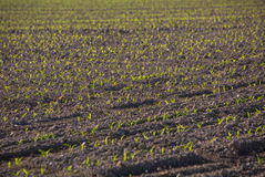 Corn sprouting at a farm Stock Image