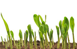 Corn sprouts. Sprouts of corn which are represented on a white background Stock Image