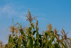 Corn sprouts in the farm field. With blue sky on background. Agriculture in the nature countryside Stock Photography