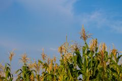 Corn sprouts in the farm field. With blue sky on background. Agriculture in the nature countryside Stock Images