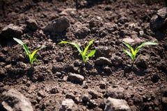 Corn sprouts Stock Photos