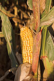 Corn On The Stalk. Close-up of an ear of corn in the field. Shallow depth of field Stock Images