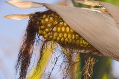 Corn on stalk Royalty Free Stock Image