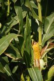Corn on the stalk. Yellow corn ready to be picked Royalty Free Stock Images