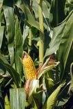 Corn on the stalk. Yellow corn ready to be picked Royalty Free Stock Photography