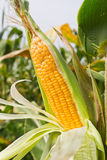Corn on the stalk Stock Images