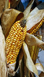 Corn Stalk. An ear of corn on a stalk Stock Images