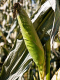 Corn on stalk. An ear of corn still on the stalk at a farm Stock Photography