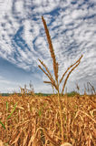 Corn-stalk. There is a corn-stalk in the photo. The background is the decorative sky Stock Image