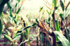 Corn on the stalk Royalty Free Stock Photography