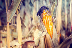 Corn on the stalk. Agricultural field at harvest Stock Images