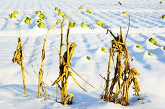 Corn stalk and cabbage. In snowy area Stock Photography