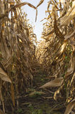 Corn on stalk in cultivated maize field ready to harvest. Stock Photos
