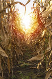 Corn on stalk in cultivated maize field ready to harvest. Stock Photography