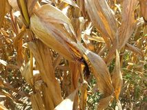 Corn stalk. With ear of corn taken in western Indiana on September 16 2017 Stock Photography