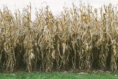 Corn Stalk Field royalty free stock photos