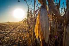 Corn stalk full grain on the background of the sun at sunset stock photography