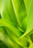 Corn stalk leaves Macro. Abstract macro of Corn stalk leaves with most of image in soft focus Royalty Free Stock Photo