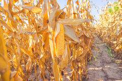 Corn on stalk in maize field. Harvest ready corn on stalk in cultivated maize field, close up with selective focus Royalty Free Stock Images