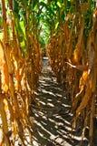 Corn stalk Maze aisle. An aisle or lane in a tall corn stalk maze Stock Images