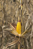 Corn on the stalk Stock Photography