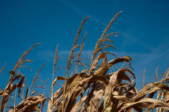 Corn stalk tops Royalty Free Stock Image