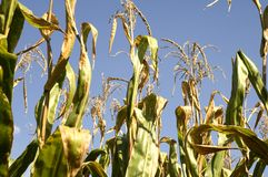 Corn Stalk Tops Stock Image
