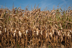 Corn stalks Stock Photo