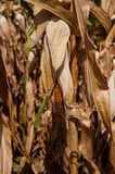 Corn stalks Royalty Free Stock Images