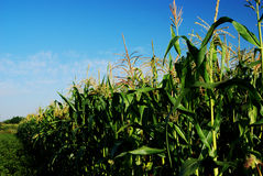 Corn Stalks Stock Image