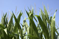 Corn Stalks Royalty Free Stock Photos